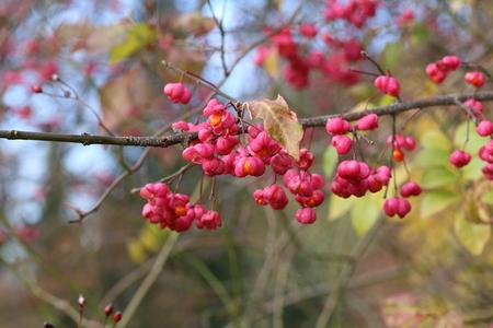 Euonymus / Strauch blühen im Herbst Standard-Bild