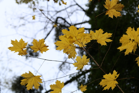 Beautiful autumn leaves / Beautiful autumn leaves on a tree in the forest Standard-Bild - 92993600