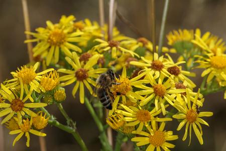 Die Biene sammelt Nektar auf gelben Blüten Standard-Bild - 92760881