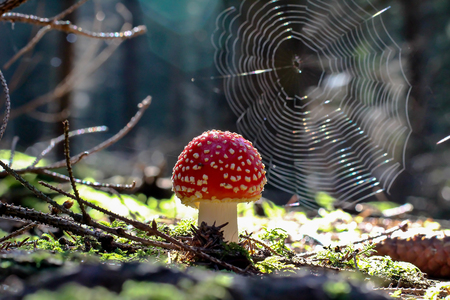 Amanita in the background of spider webs