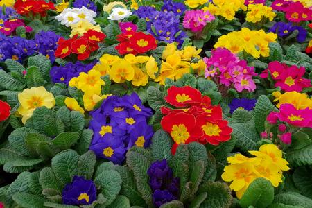 Spring sale of flowers / Primrose