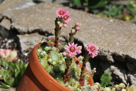 Sempervivum flower / Flowering sempervivum in macro shot Standard-Bild - 115687099