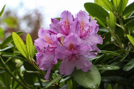 rhododendron Standard-Bild - 115687109