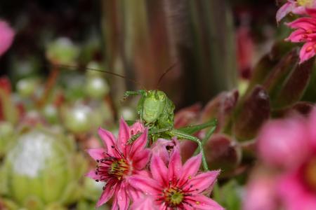 Locust sitting on a flower Standard-Bild - 115687111