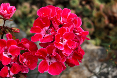 Geranium - Beautiful garden flowers / blossom in summer Standard-Bild - 115687120