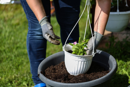 Going to geraniums in flowerpots