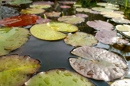 Leaves of the water lily swim in the pond Standard-Bild - 107990683