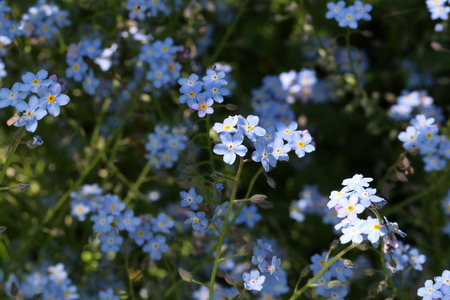 Forget-me-nots - beautiful forest flowers.