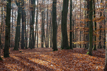 In the autumn forest. Autumn trees in the forest Standard-Bild - 114621102