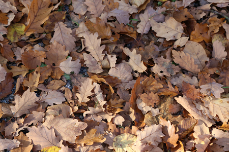 Carpet of autumn leaves. Fallen autumn leaves on the ground Standard-Bild - 114621189