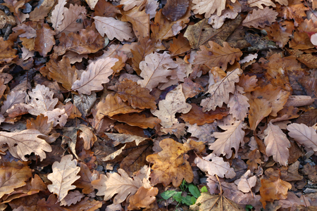Carpet of autumn leaves. Fallen autumn leaves on the ground Standard-Bild - 114621191