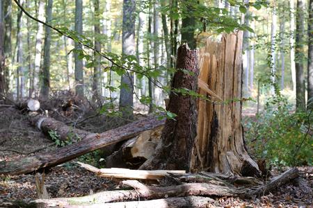 Forest. The Tree Fallen by a Hurricane Standard-Bild - 114621195