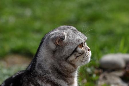 Portrait of a beautiful purebred housecat. British Shorthair kitten Standard-Bild - 114622613