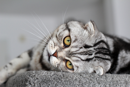 Portrait of a beautiful purebred housecat. British Shorthair kitten Standard-Bild - 114622614