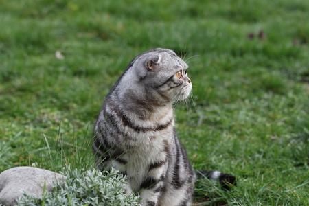 Portrait of a beautiful purebred housecat. British Shorthair kitten Standard-Bild - 114622622