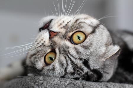 Portrait of a beautiful purebred housecat. British Shorthair kitten Standard-Bild - 114622626
