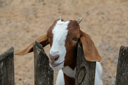 Little goat looks out from behind a fence. Standard-Bild - 114623156