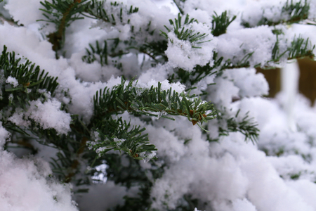 In the winter forest. Green needles in the snow.