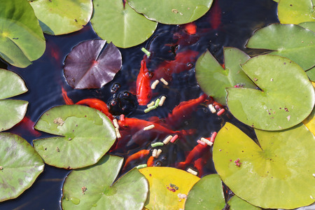 Leaves of the lily swim in the pond / water lilies