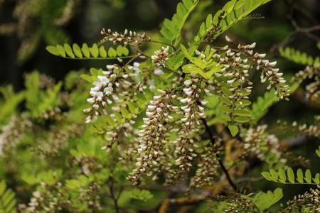 Robinia / Black locust, Robinia pseudoacacia flowers.
