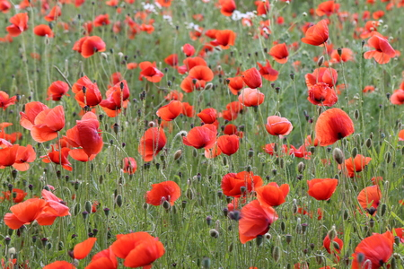 Red Poppies / Poppy Field