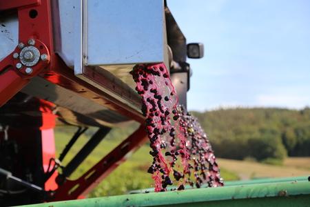 Harvesting grapes by a combine harvester Zdjęcie Seryjne