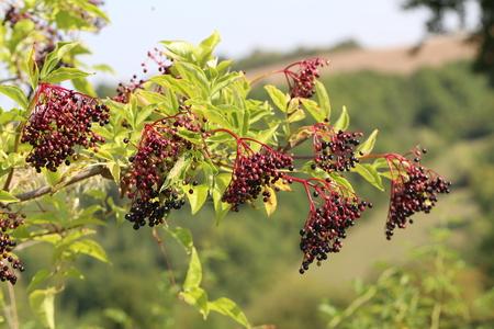 Elderberry in the forest Archivio Fotografico