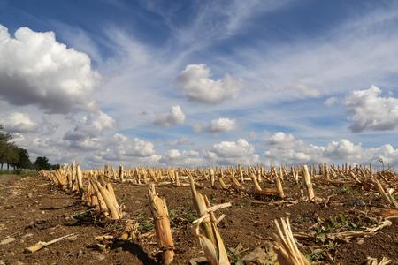 Harvested corn field Stockfoto
