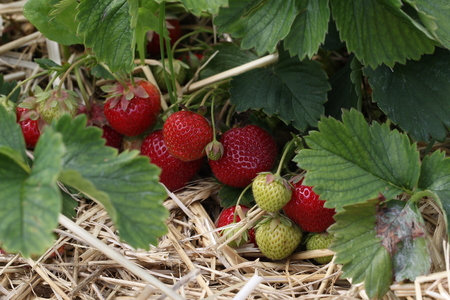 Strawberries / Harvest strawberries. Strawberry bushes with berries.
