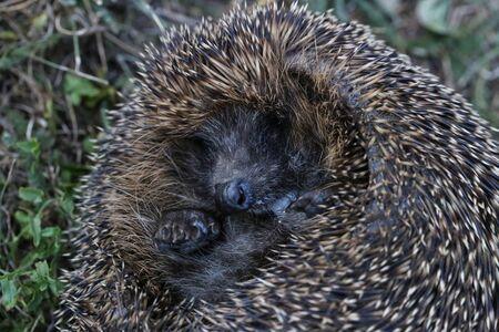Forest  hedgehog crawling on fallen leaves