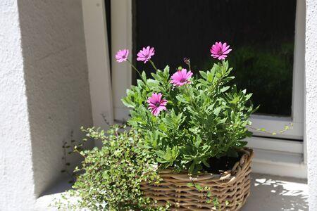 Flowerpot of flowers standing on a windowsill Reklamní fotografie