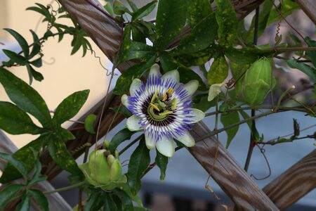 Close up of passion fruit flower in summer