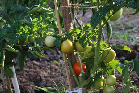 Tomato matures on a bush in the garden