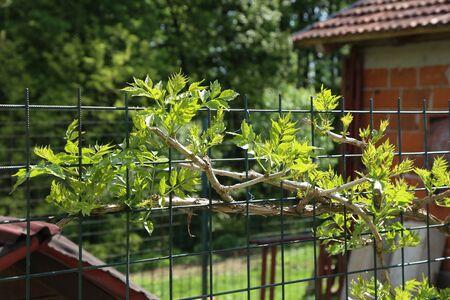 Green tree in the shape of a fence Reklamní fotografie