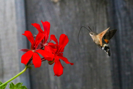 Hummingbird hawk-moth / butterfly sits on a flower Stock Photo