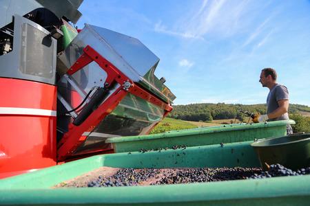 Zbiór winogron kombajnem