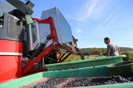 Harvesting grapes by a combine harvester Stock Photo