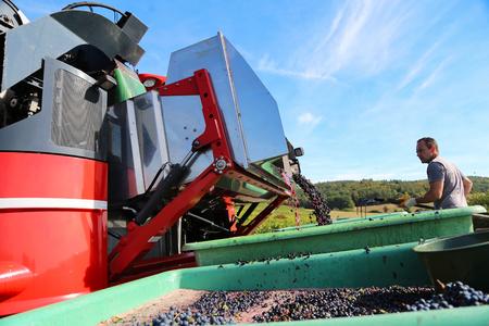 Zbiór winogron kombajnem Zdjęcie Seryjne