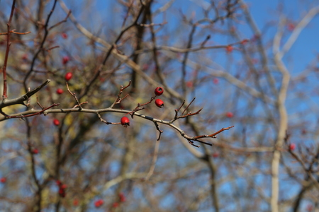 Red berries on branches of bushes in the forest