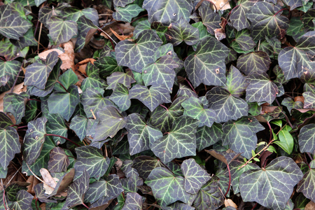 Ivy. Creeping shrubs clinging to their adventitious roots of the walls, tree trunks, and so on.