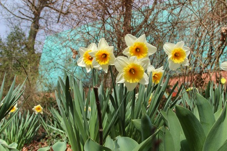 Narcissus. Beautiful spring flowers blooming in the garden. 免版税图像