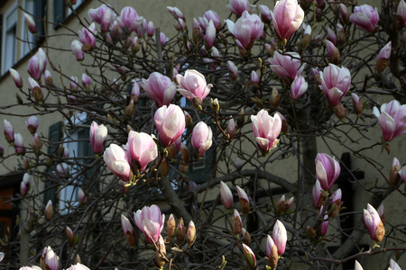 Blooming tree - beautiful blossomed magnolia branch in spring.