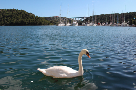 White swan swims on the Krka River in Croatia