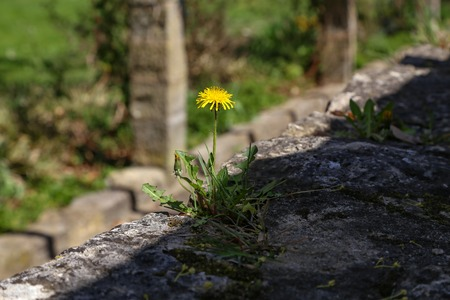 A flowering dandelion grew up on a stone wall Stock Photo