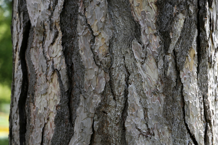 Close up view of bark of pinus negra tree, pinaceae family. The bark is grey to yellow-brown, and is widely split by flaking fissures into scaly plates. Abstract natural image. Pattern of grey shapes.