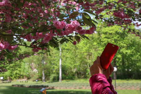 Photographing Japanese cherry blossoms in a city park.