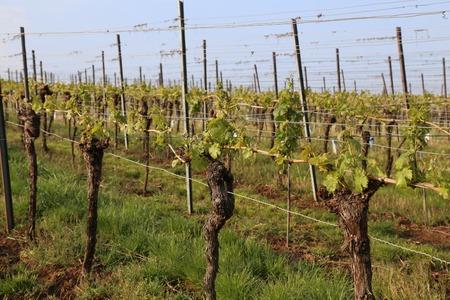 Green Grapes Vines in Vineyard during Spring.