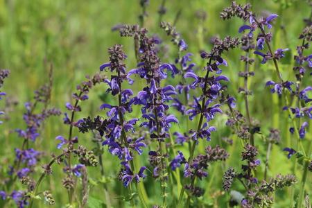 Beautiful meadow flowers. Flowering meadow sage, Salvia pratensis Banco de Imagens - 122661217