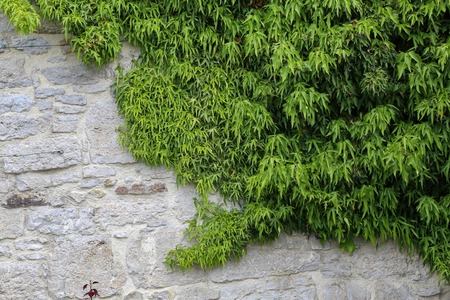 Green leaves of wild grapes weaving on a stone wall.