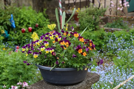 Beautiful bright pansies in the garden near the house. Stok Fotoğraf